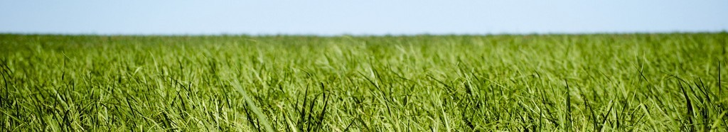 field of sugarcane for biofuel